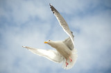 Hovering seagul poster