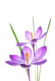 violet spring crocus - 13027521