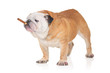 A bulldog with a cigar isolated on a white background