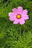 Pink Cosmos Flower poster