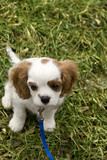 Adorable cocker spaniel looking tiny in field of grass poster