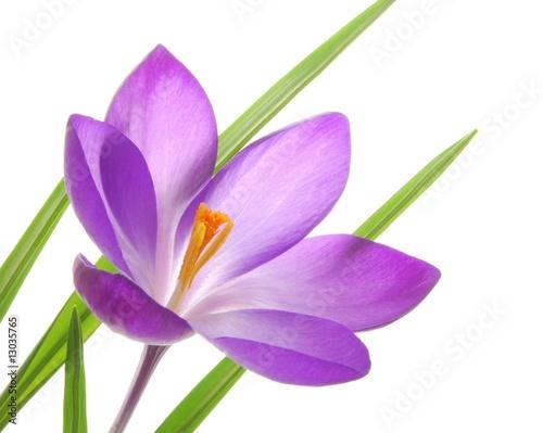 Keuken foto achterwand Krokussen violet spring crocuses