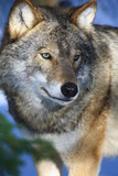 Fototapeta drapieżnik - polowanie - Dziki Ssak