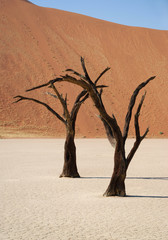 Dead trees in Dedvlei, Namibia