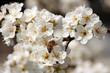 I fiori del pruno con ape 7