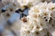 I fiori del pruno con ape 32