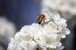 I fiori del pruno con ape 45