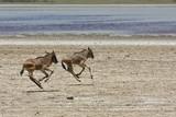Orphaned Baby Wildebeests Running in Serengeti poster