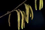 Haselnusskaetzchen, Pollen poster