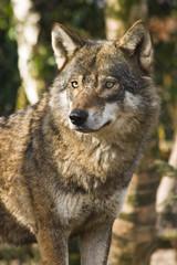 Grey wolf between birch trees in winter sun