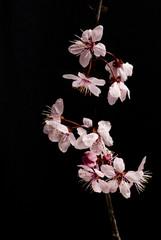 gemme rosa di primavera  su sfondo nero 2
