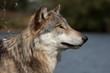Fototapeta Canino - Canis - Dziki Ssak