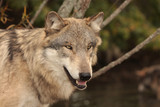 Fototapeta psów - Carnivore - Dziki Ssak