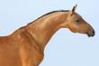 Sorrel horse on sky blue