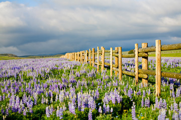 wildflowers in wyoming - lupine flowers