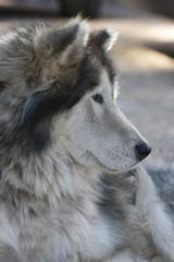Alaskan Malamute dog with winter coat