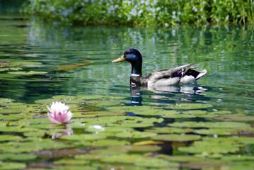 Duck botanical garden Montreal Quebec