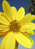 Yellow daisy closeup on defocused background poster