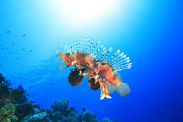 Two male Lionfish fighting