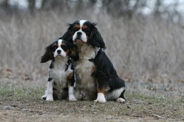 famille cavalier king charles asssi vu de face dans un champ