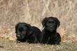 deux adorables chiots labradors noir allongés en campagne
