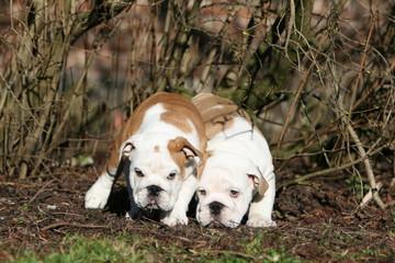 deux chiots bulldog anglais de face collés l'un contre l'autre