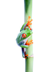 frog on bamboo isolated on white