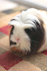 guinea pig on rug