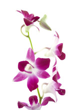 purple orchid on white background