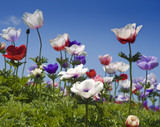 Fototapety white red and purple flower field