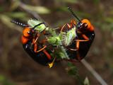 Arizona Blister Beetles Feasting poster