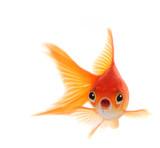 Shocked Goldfish Iso...