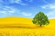 Green tree in yellow rape field