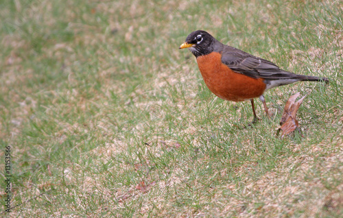 Robin in spring time