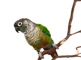 Green Cheek Conure on a Tree Branch Isolated poster