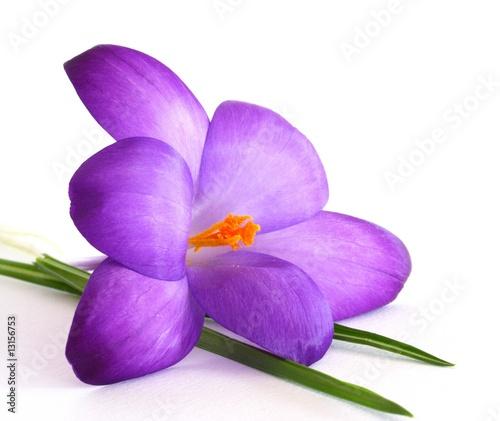 Fotobehang Krokus Krokusblüte, lila, weißer Hintergrund