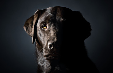 Side Lit, Low Key Head Shot of a Strong Labrador