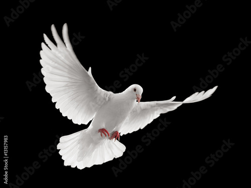 canvas print picture dove flying