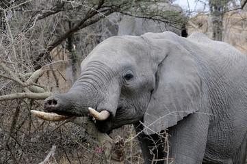 Elephant Trunk Call