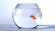 goldfish salto