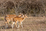 Axis Deer in Bandipur National Park poster