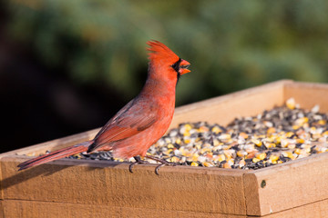 cardinal at the feeder eating sunflower seeds