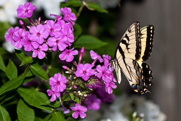 swallowtail butterfly feeds on a pink petunia