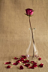 Dry rose in a glass vase with dropped petals