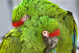 Cuddling Green Military Macaws poster