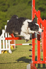 A Border Collie is successful