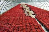 Culture de salades rouges poster