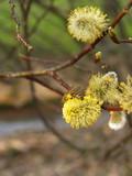 pollen...aulne poster