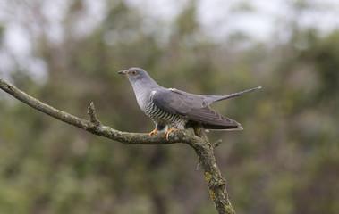 cuculo,cuckoo