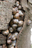 Common garden snails sheltering in a tree poster